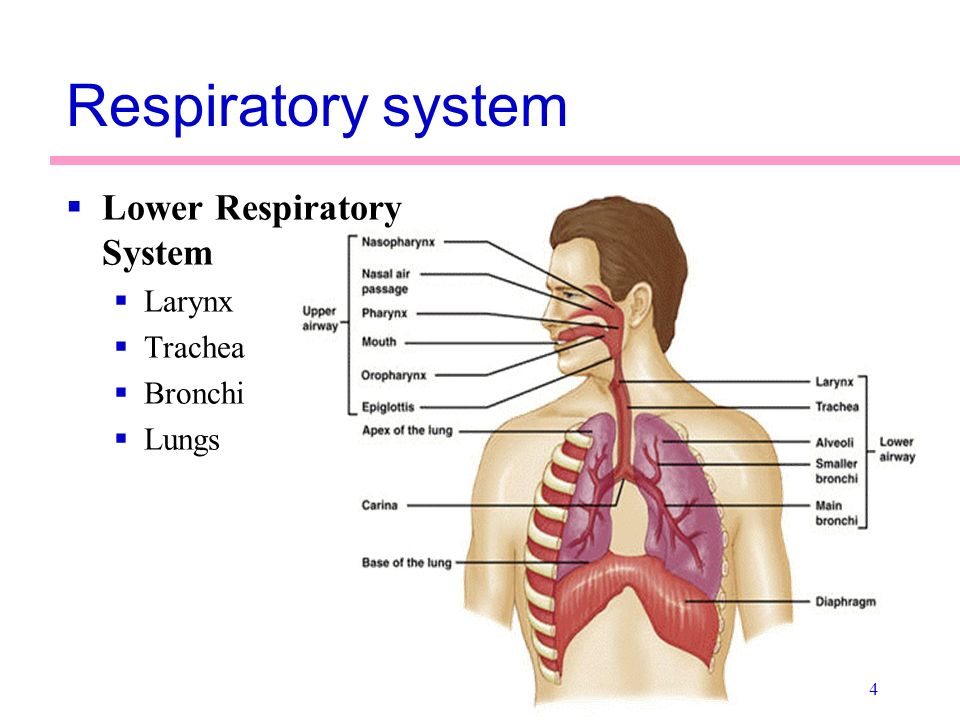 Anatomy of the Respiratory System - ppt video online download