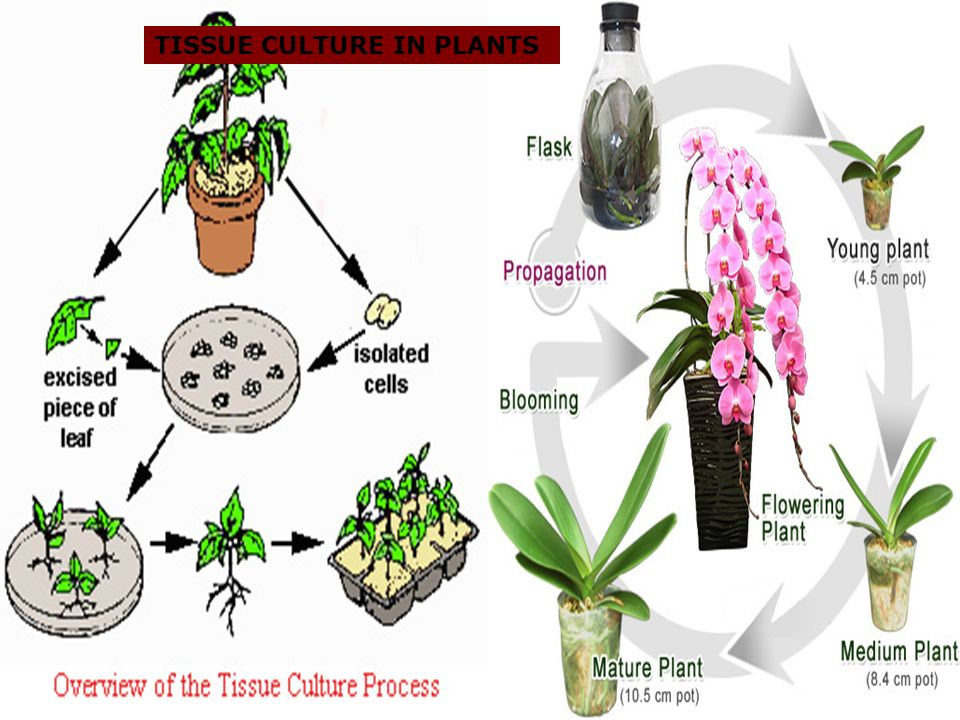 TISSUE CULTURE IN PLANTS