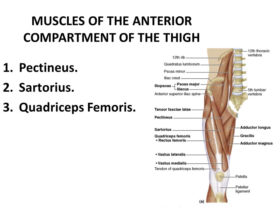 Anatomy Of The Front Of The Thigh Ppt Video Online Download