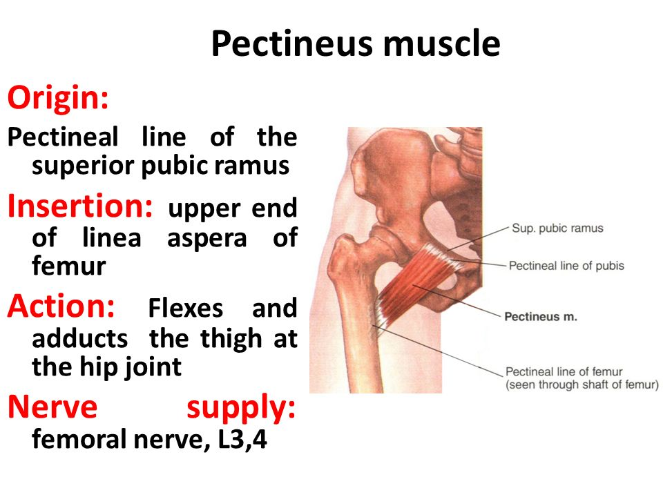 ANATOMY OF THE FRONT OF THE THIGH - ppt video online download
