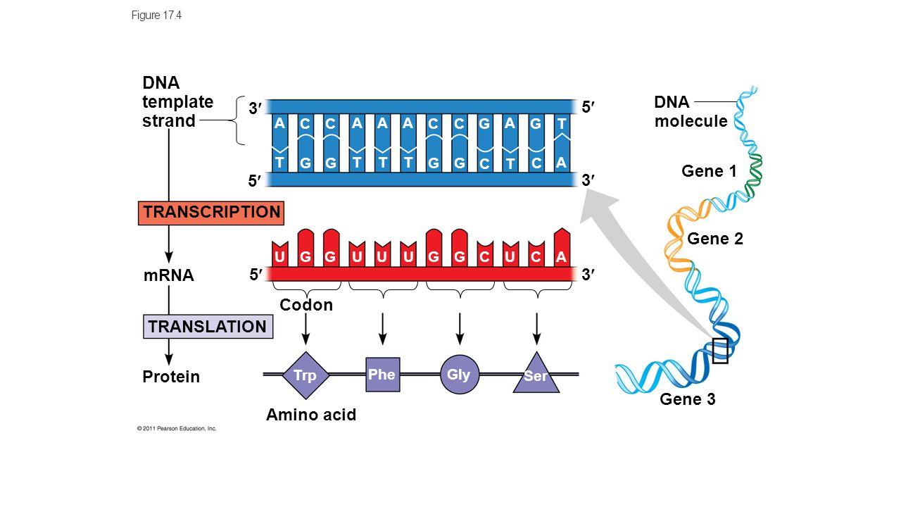 Dna Template Strand 5 3 Molecule Gene 1 Transcription