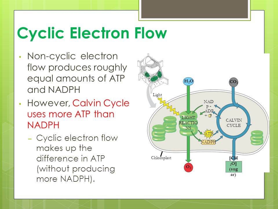 The Light Reactions Chapter Ppt Video Online Download