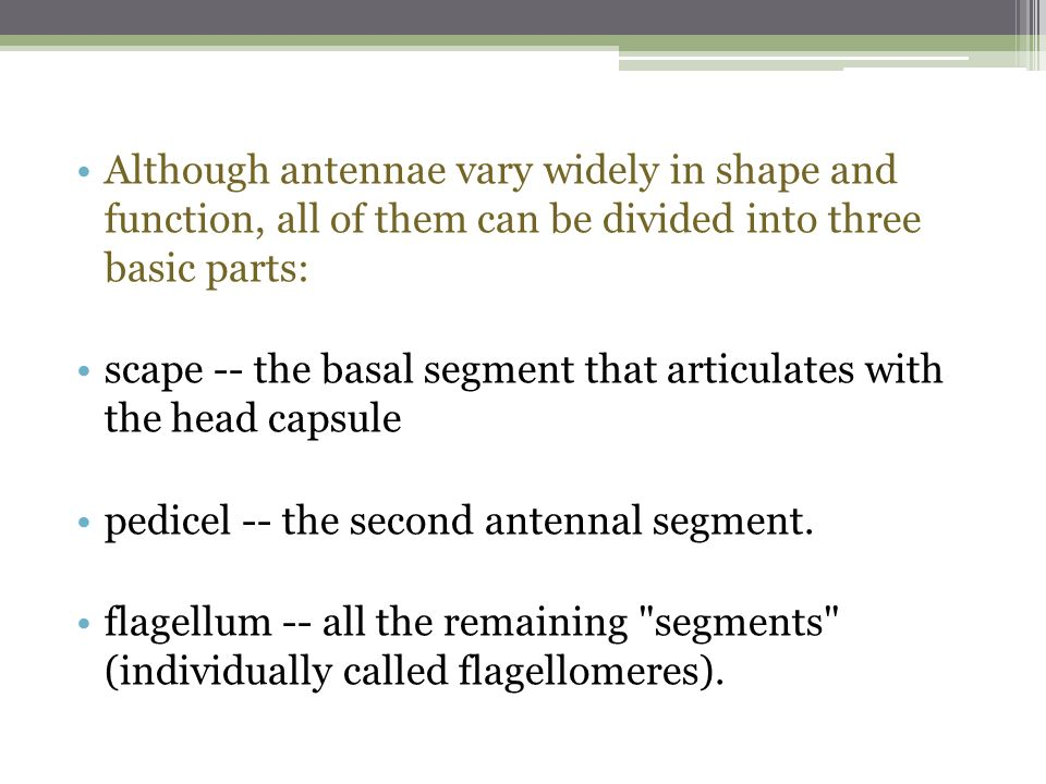 Insect Antennae  - ppt download