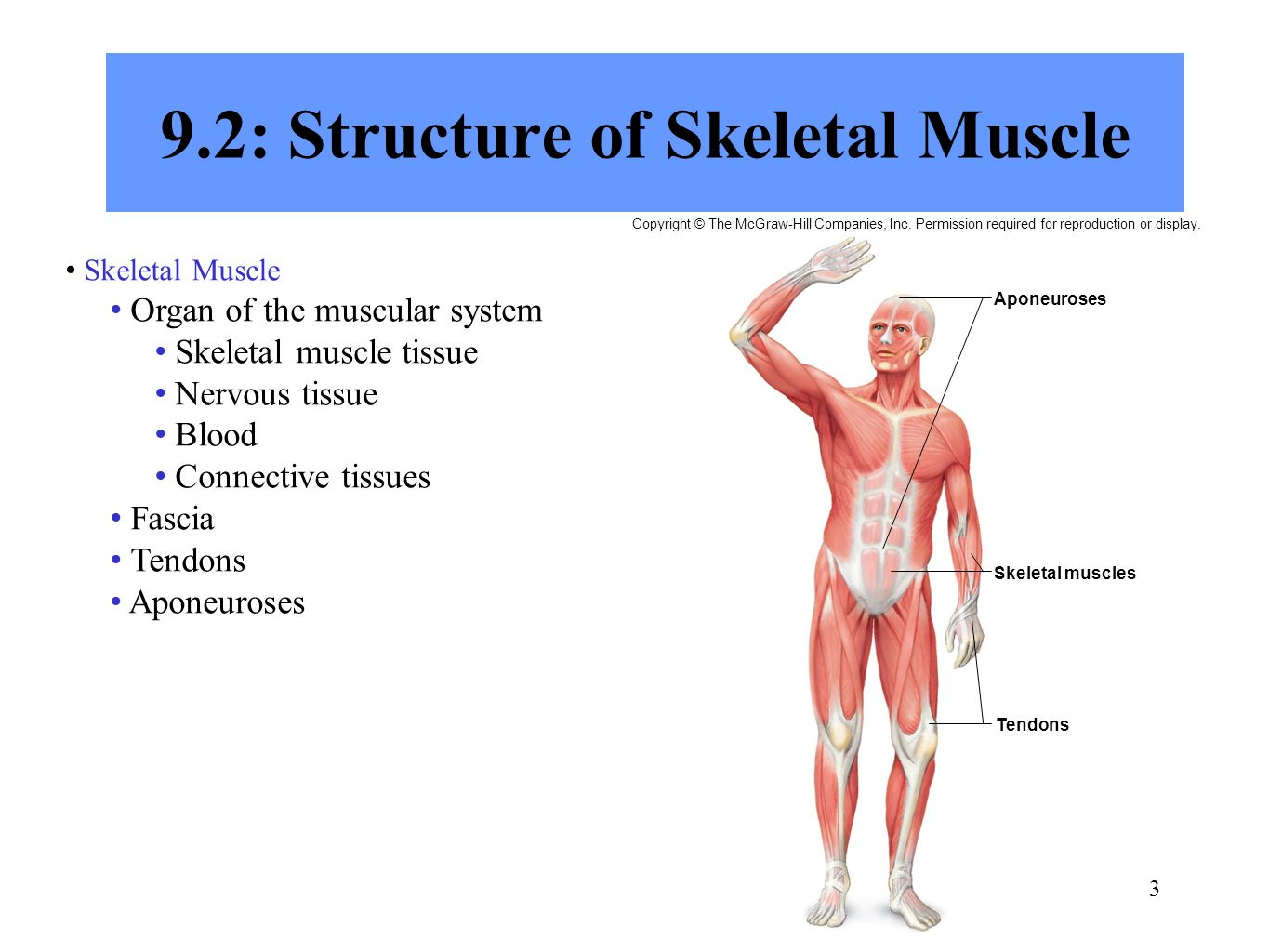 Contemporáneo Muscular System Anatomy And Physiology Ppt Bandera ...