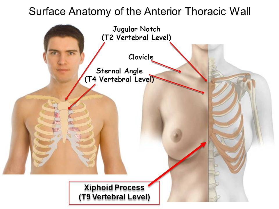 Regional anatomy Thorax Ling Shucai. - ppt video online download