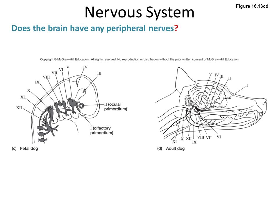 Nervous system what are the functions of the nervous system ppt 36 nervous ccuart Choice Image
