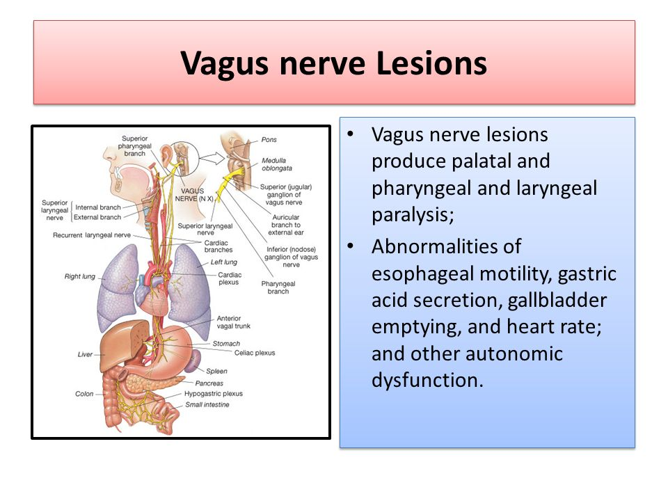Cranial Nerves 1X-X (Glossopharyngeal & Vagus Nerves) - ppt video ...