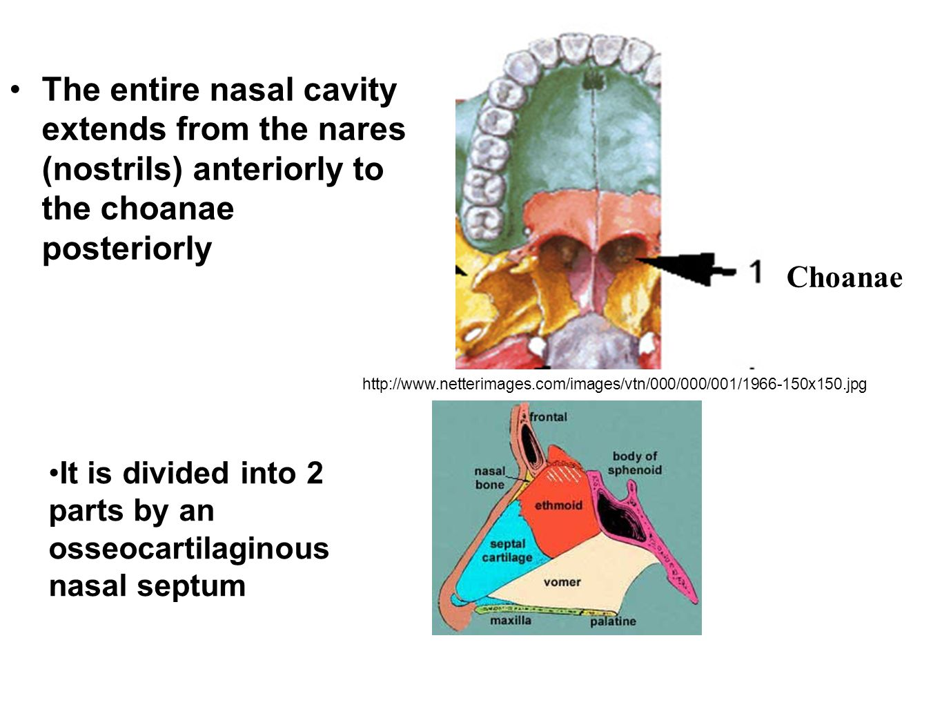 The Nasal Cavity Functions Ppt Video Online Download