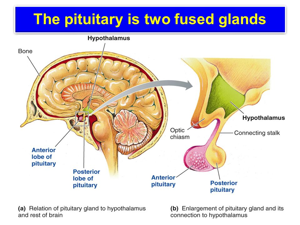 Pituitary Gland Ppt Video Online Download