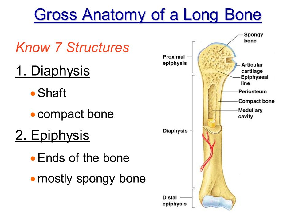Chapter 5 Gross Microscopic Bone Anatomy Ppt Video Online Download