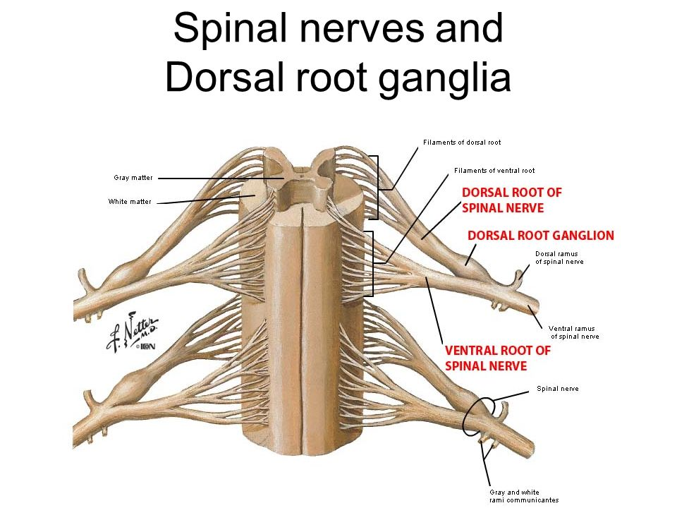Brain And Spinal Cord Ppt Video Online Download