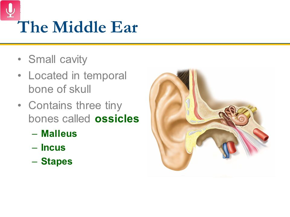 Special Senses The Ear Ppt Video Online Download