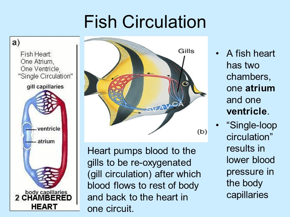 Comparative circulatory system ppt download 4 fish circulation ccuart Images