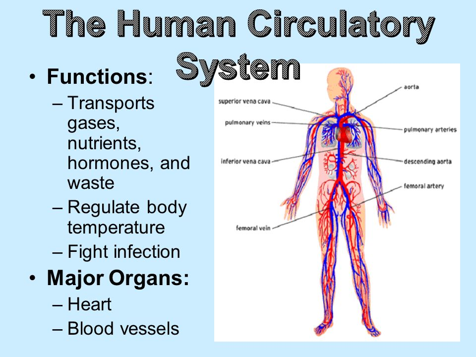Human Circulatory System Diagram And Functions Diy Wiring Diagrams