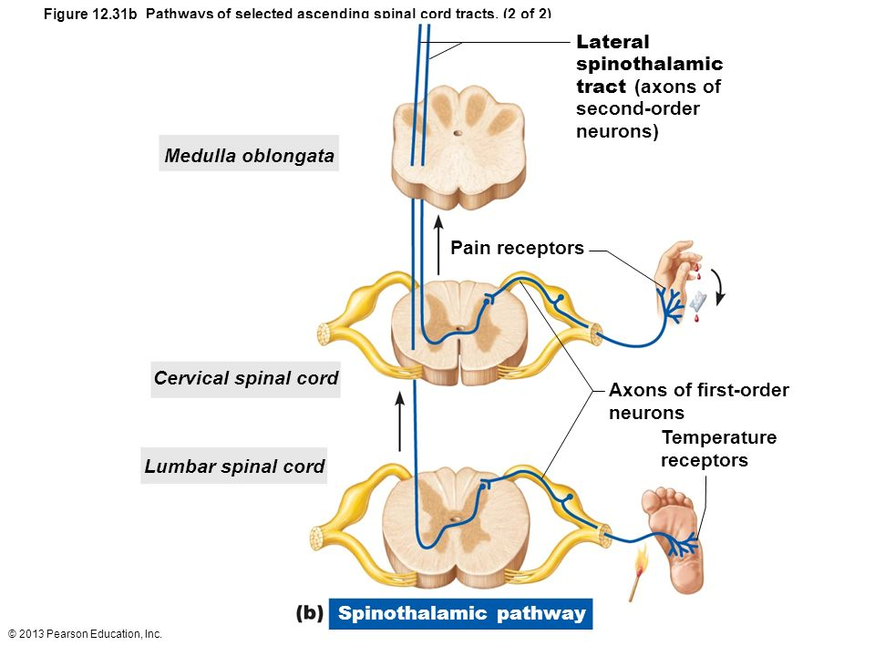 Fine Spinal Tracts Anatomy Embellishment - Anatomy And Physiology ...