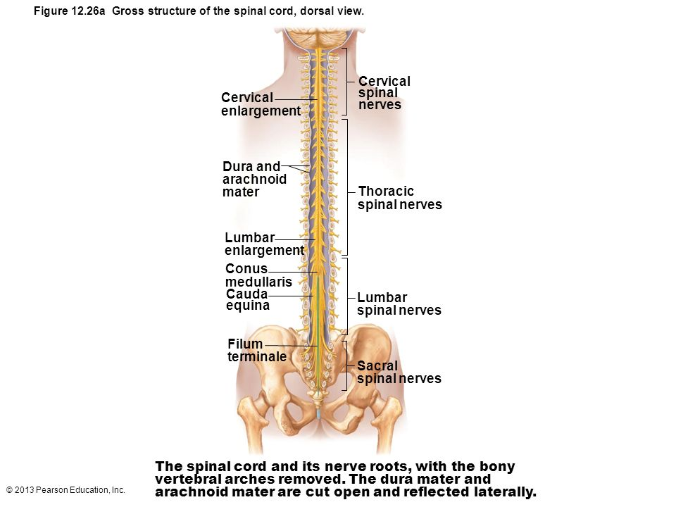 Spinal Cord: Gross Anatomy and Protection - ppt video online download