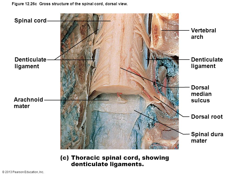Thoracic Spine Ligaments Diagram Product Wiring Diagrams