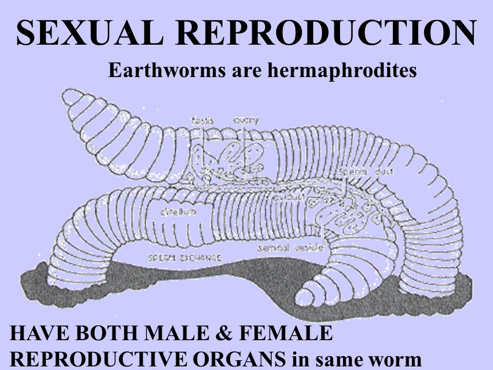 Types of sexual reproduction in earthworms