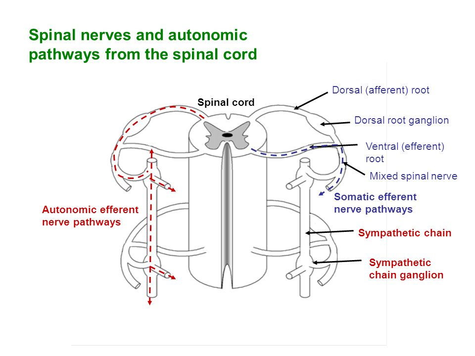spinal cord spinal nerves and the Damage part of c4- phrenic nerve would be weaker, but would still work-- most plexus's are formed from multiple spinal nerves, so damage to a single nerve or section of the spinal cord does not result in complete loss of innervation to a particular muscle or region.