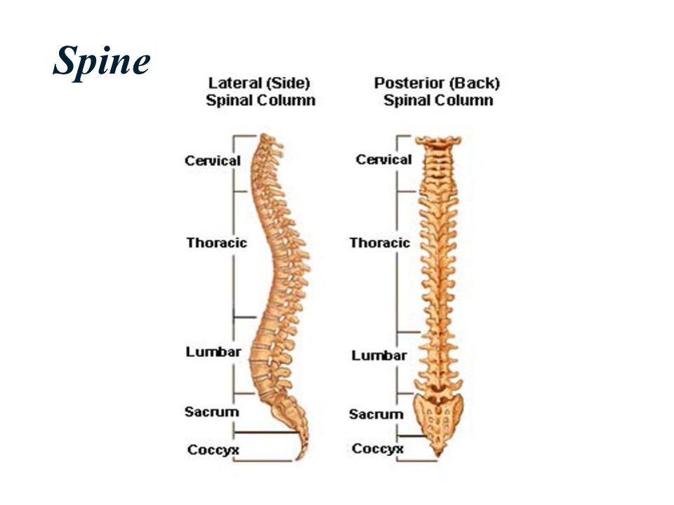 Biomechanics of Human Spine - ppt video online download