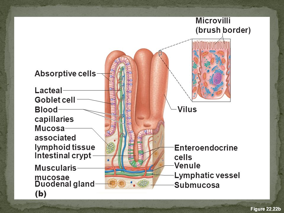 Digestive System B Anatomy And Physiology From Small Intestine To