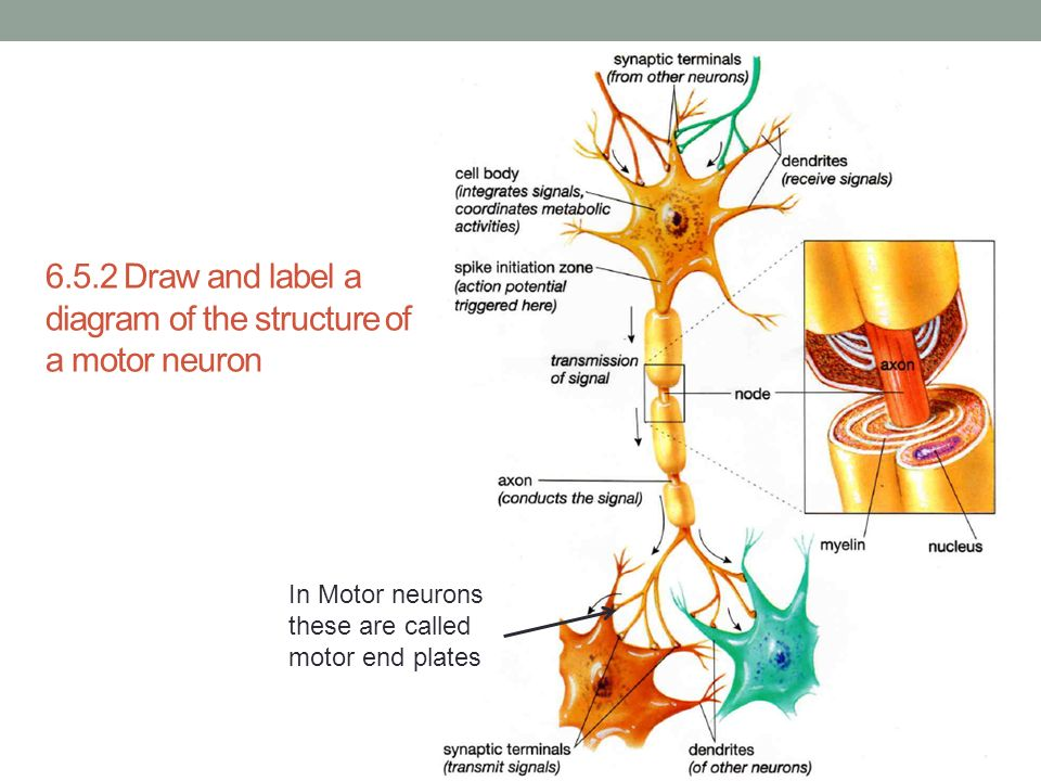structure of a typical motor neuron. Black Bedroom Furniture Sets. Home Design Ideas
