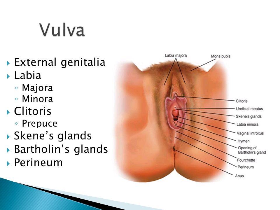 vulva external genitalia labia clitoris skene's glands