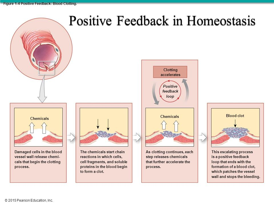 What Is Positive Feedback In Anatomy Images - human body anatomy