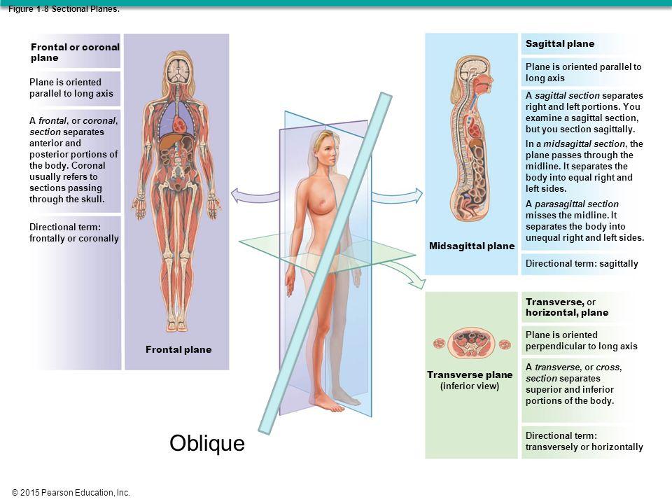 Exelent Midsagittal Plane Anatomy Ideas - Anatomy And Physiology ...
