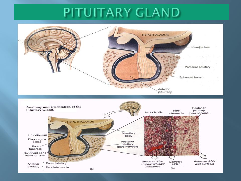 ANATOMY-ems hypothalamus & pituitary gland - ppt video online download