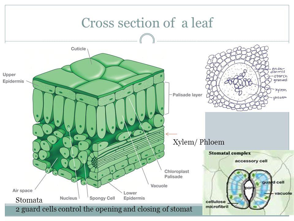 Leaf Cross Section Stomata Diagram House Wiring Diagram Symbols