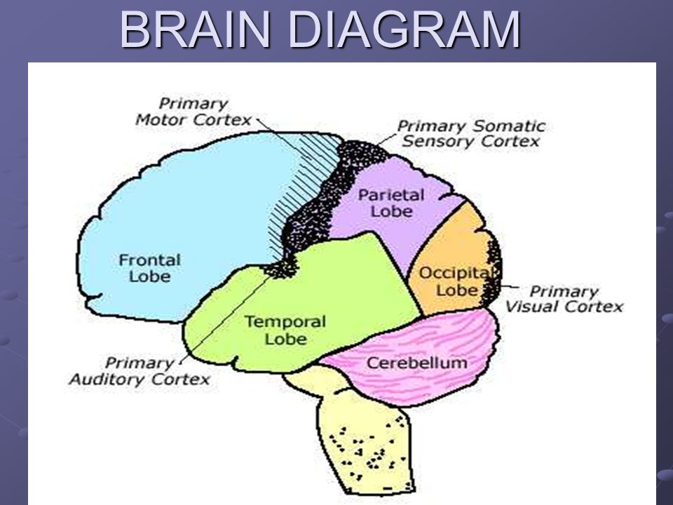 Educational strategies whats the brain got to do with it ppt 3 brain diagram ccuart Gallery