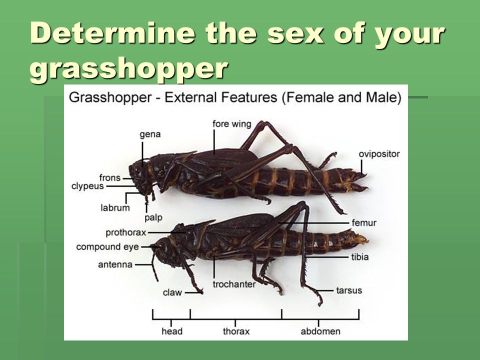 Dissection of a Grasshopper - ppt download