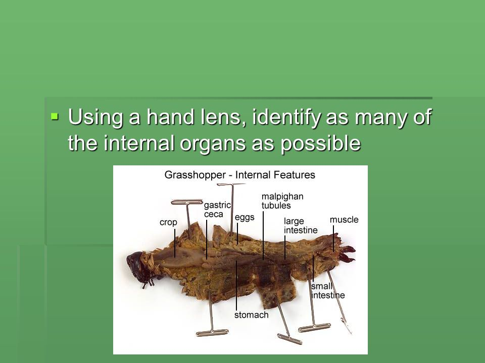 Dissection Of A Grasshopper Ppt Download