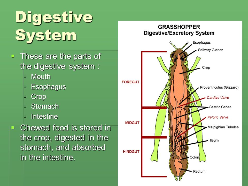 Grasshopper Internal Anatomy Diagram Digestive - Wiring Diagram •