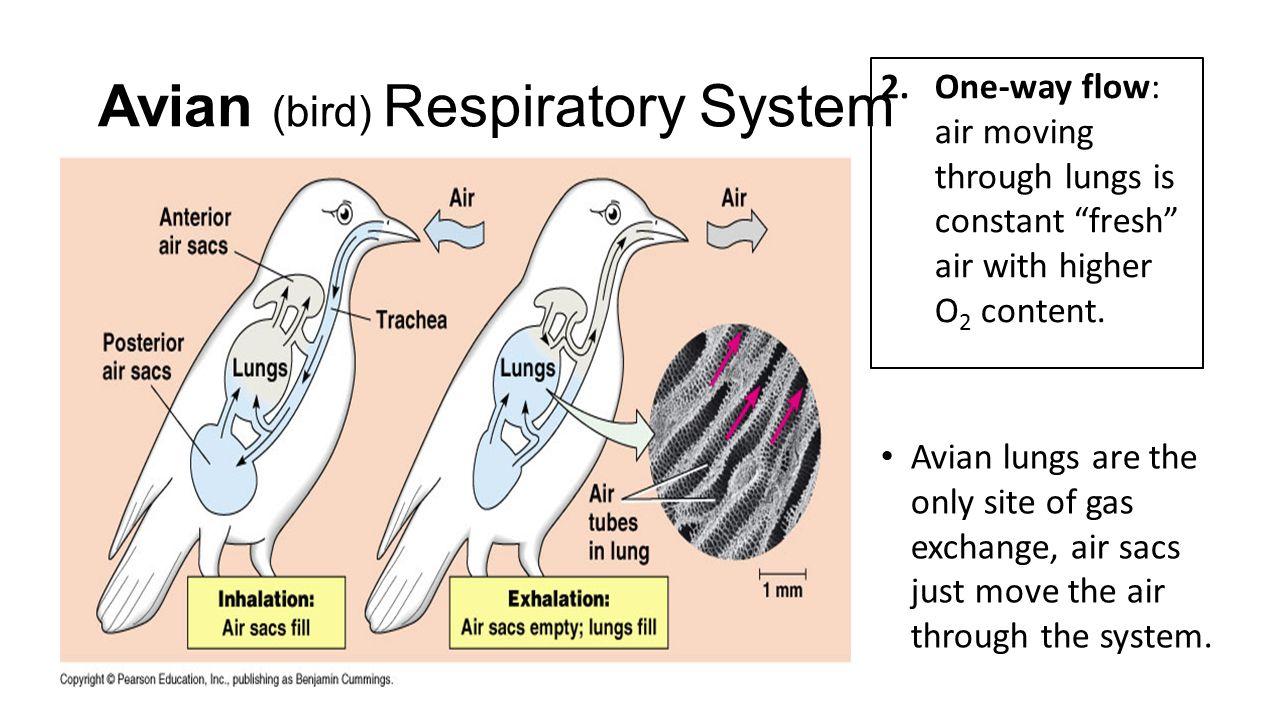 Avian Bird Respiratory System