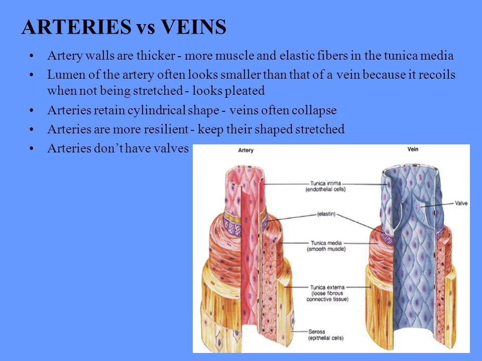 Vistoso Artery Vs Vein Festooning - Anatomía de Las Imágenesdel ...