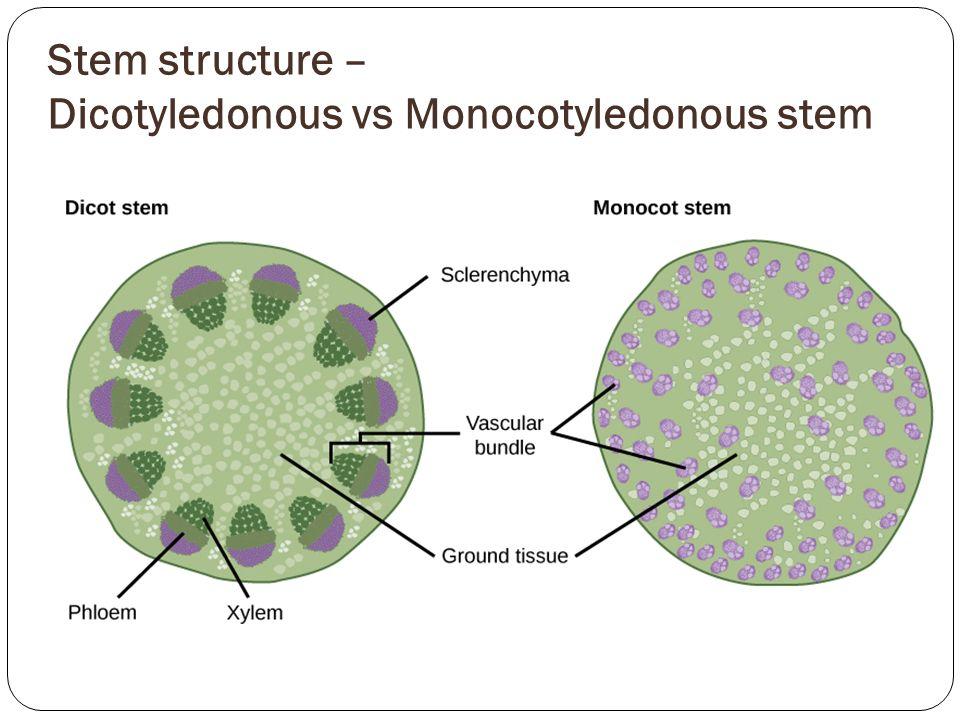 Stem Structure E Dicotyledonous Vs Monocotyledonous Stem on Water Slide Diagram