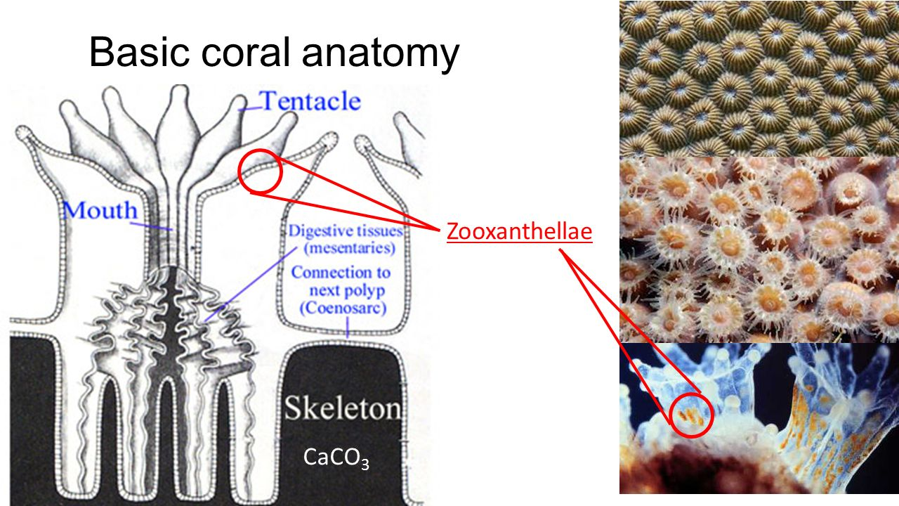 Using Corals for Proxy Temperature and Salinity - ppt video online ...