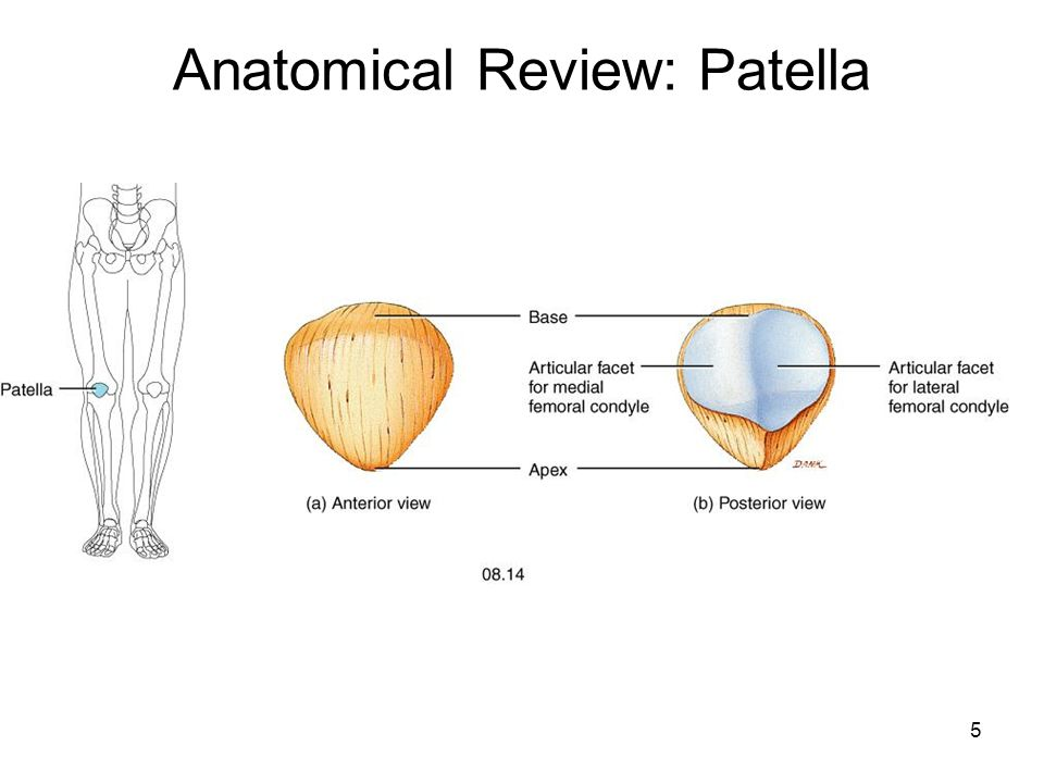 Myology Myology Of The Knee Ppt Video Online Download