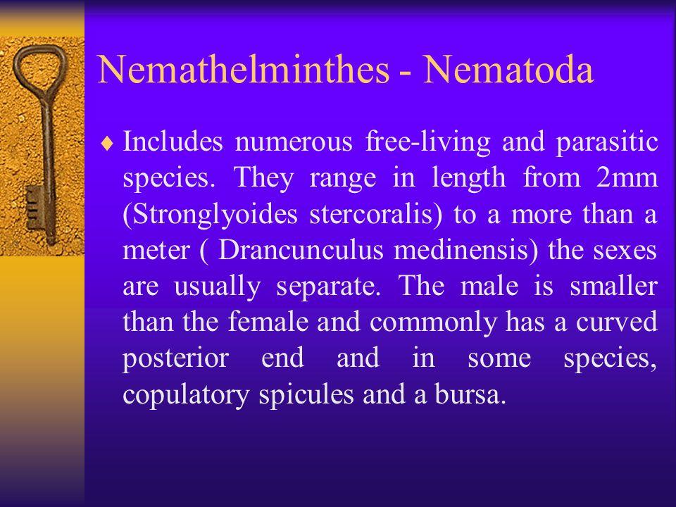 phylum nemathelminthes ppt tinédzserként kezelni a férgeket