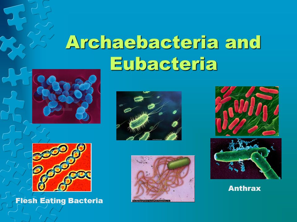 archaebacteria kingdom Domain: archaea description: organisms of the kingdom archaebacteria are fascinating creatures they lack membrane-bound organelles and have a circular chromosome like eubacteria.