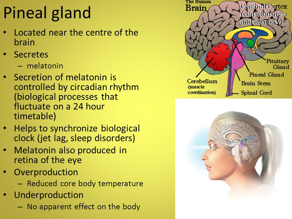 The Endocrine System Contributes to: By: To control - ppt