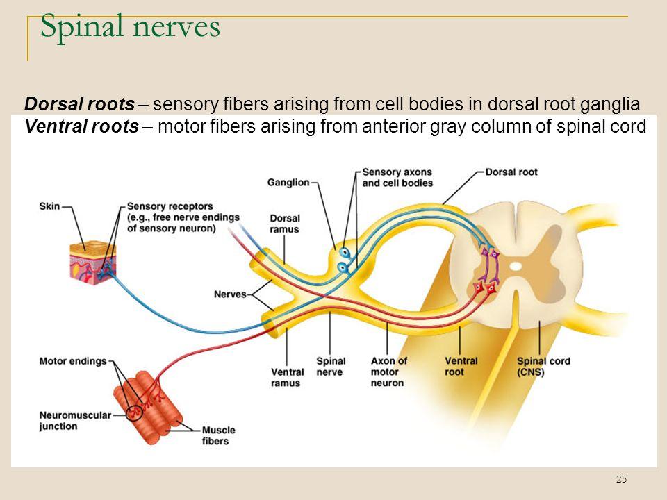 ventral motor root   motorwallpapers.org