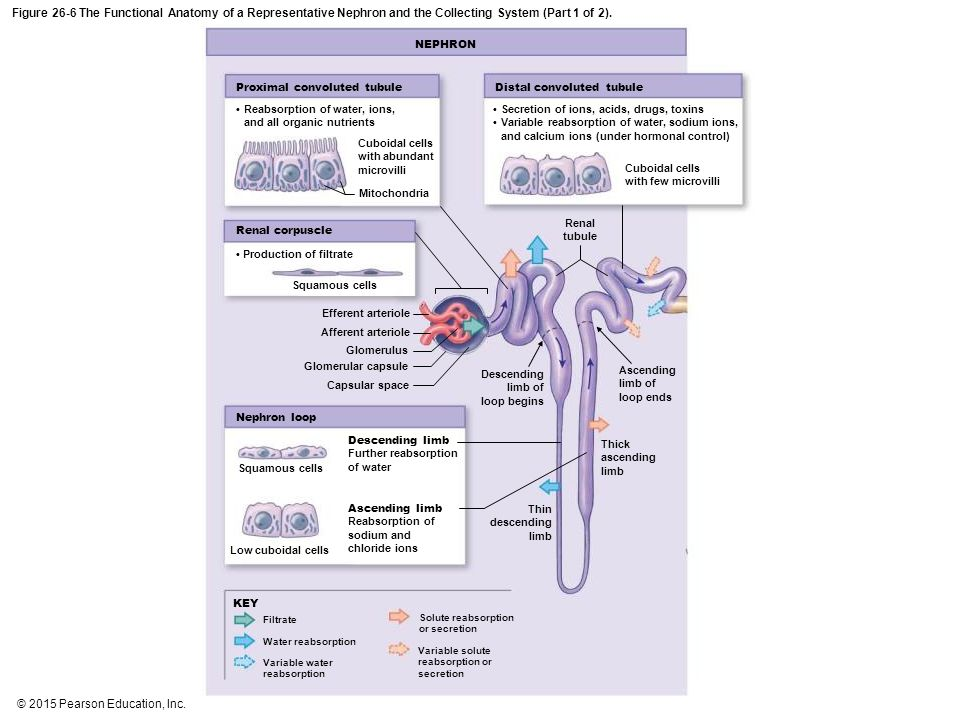 An Introduction to the Urinary System - ppt download