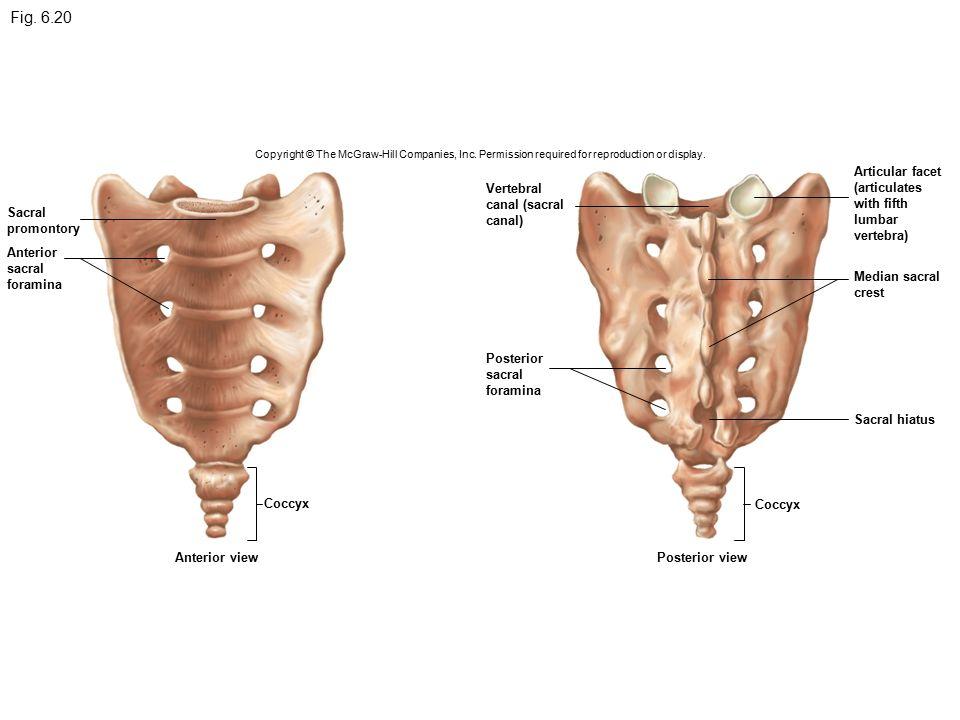 Fig First Cervical Vertebra Atlas Ppt Video Online Download