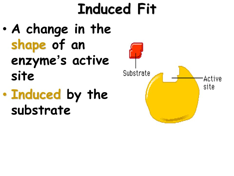Induced Fit A change in the shape of an enzyme's active site