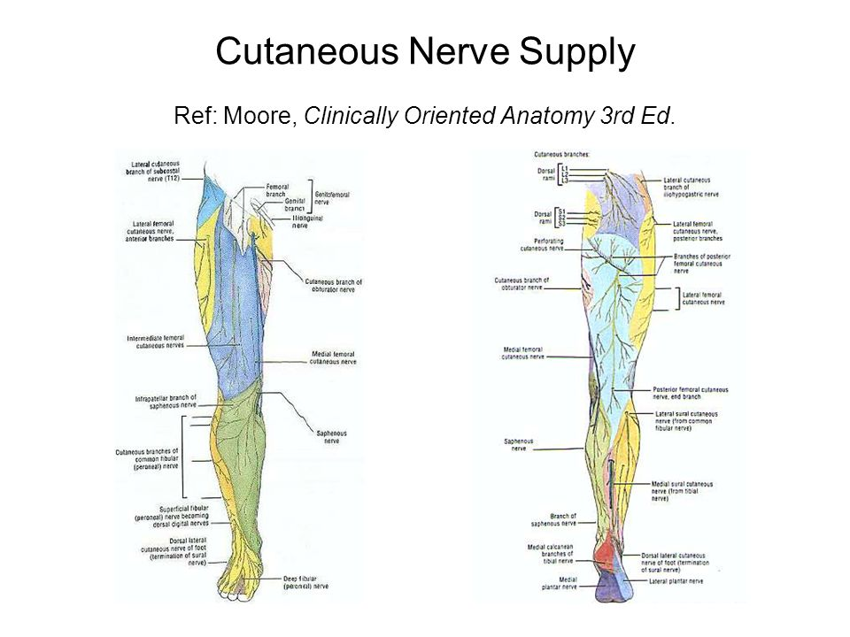 Nerve Supply Of The Lower Limb Ppt Video Online Download