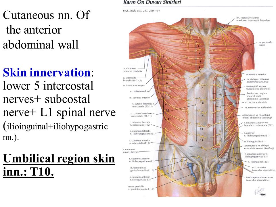 Anterior Abdominal Wall And The Inguinal Region Ppt Video Online