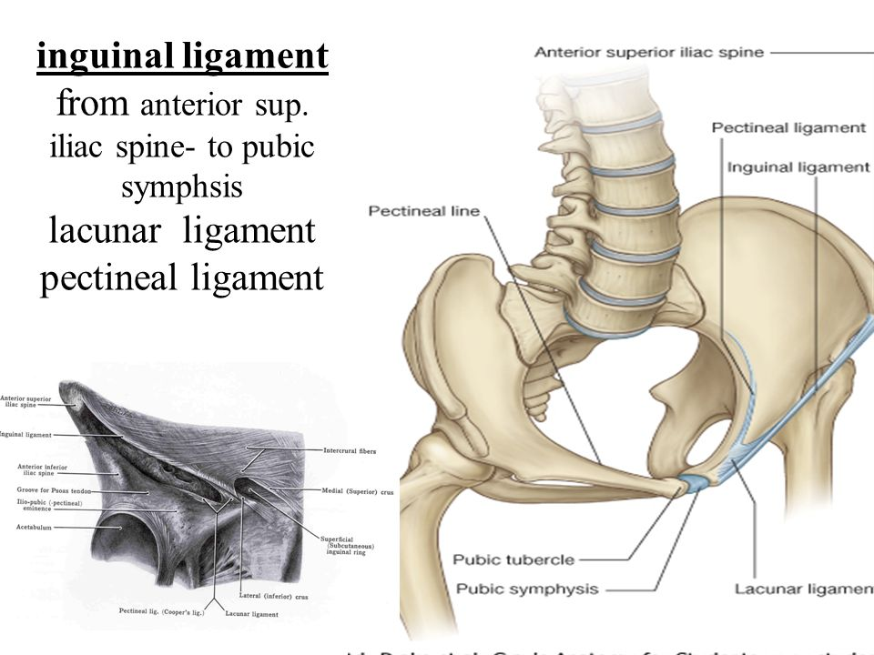 Anterior abdominal wall and the inguinal region - ppt video online ...